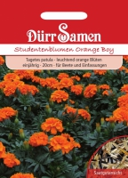 Tagetes patula Studentenblumen Orange Boy